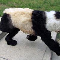 Ugató Kung Fu panda