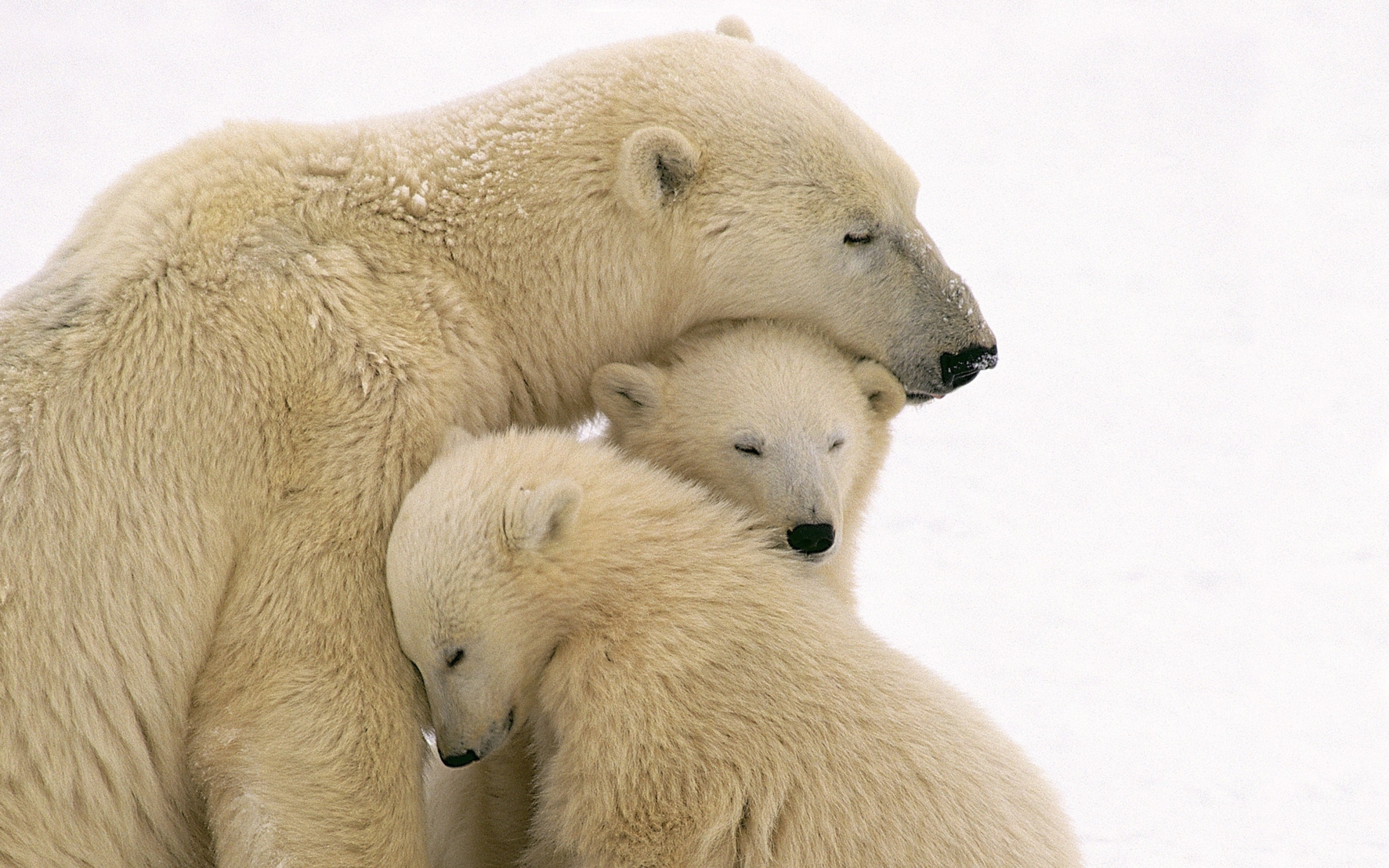 polar_bears_care_family_babies_51522_3840x2400.jpg