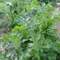 A koriander termesztése és felhasználása