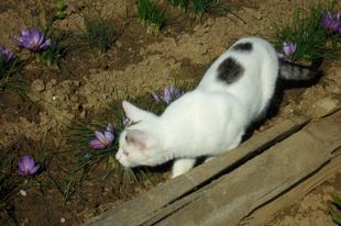 Sáfrányvirágzás - az őszi kert ajándéka