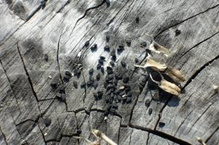 Fekete kömény — Nigella sativa — kalinji