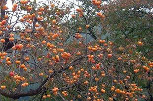 Hurma, datolyaszilva - Diospyros kaki - az őszi kert utolsó ajándéka