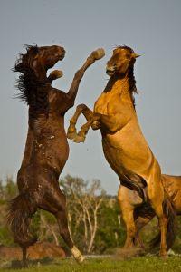 Harcoló lovak; (c) David Mendosa - http://www.mendosa.com