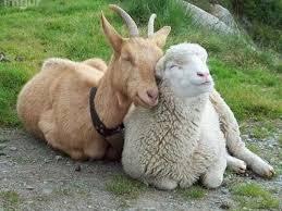 kecske birka szeretet