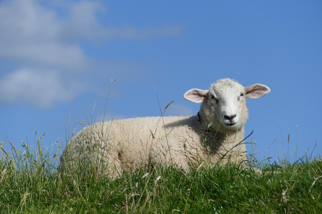 sheep-2498534_1280.jpg