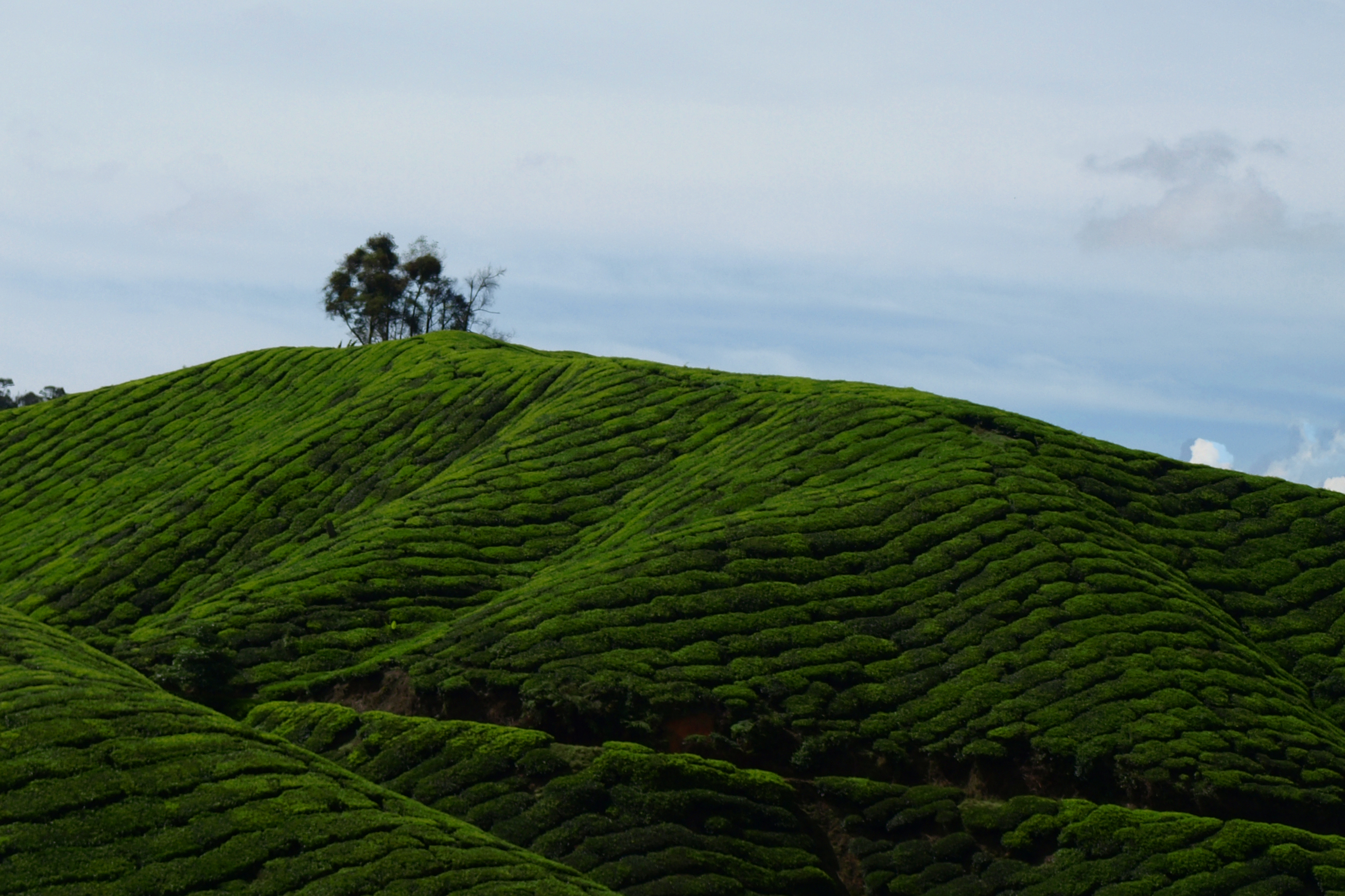 Teaföld a maláj felföldeken. Végre valahol kellemes hűvös volt, nem csoda, hogy a britek is mind ide vonultak vissza kipihenni az elnyomás fáradalmait