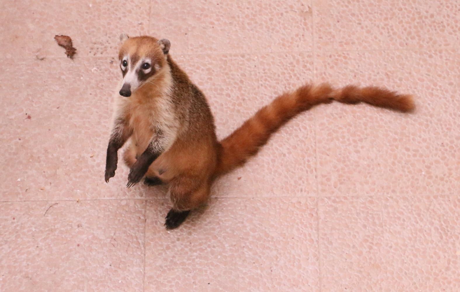 Ez egy coati. Playacar tele van agoutikkal és coatikkal, ez utóbbiak talán ormányos medve néven futnak Magyarhonban. Gyümölcskoldus. A balkonunk alatt pitizett banánért.