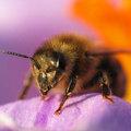 Méhek végveszélyben!?