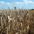 Termény betakarítás most, aratás régen.