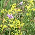 Itt a virágzó, gyűjthető gyógynövények ideje