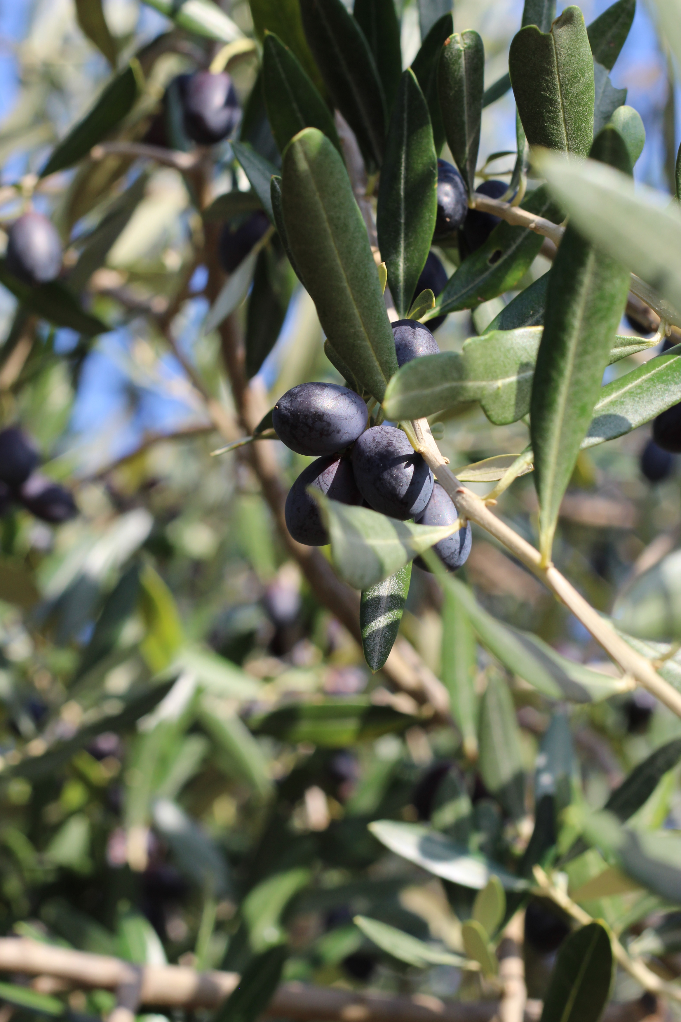Az olívaolaj titka: a szürettől a felhasználásig