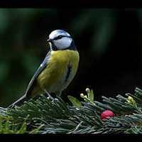 Bird Sound/MadárHang #36