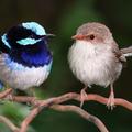 Egymás nyelvét tanulják a madarak