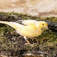 Az idősek kedvenc madara a kanári