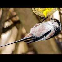 Bird Sound/MadárHang #35