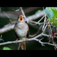 Kedvenc madárdalom