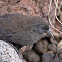 Apró, röpképtelen madár egy megközelíthetetlen szigeten