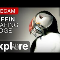 Audubon Puffin Loafing Ledge Powered by EXPLORE.org