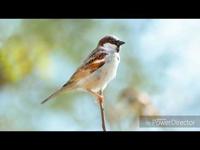 Bird Sound/MadárHang #11