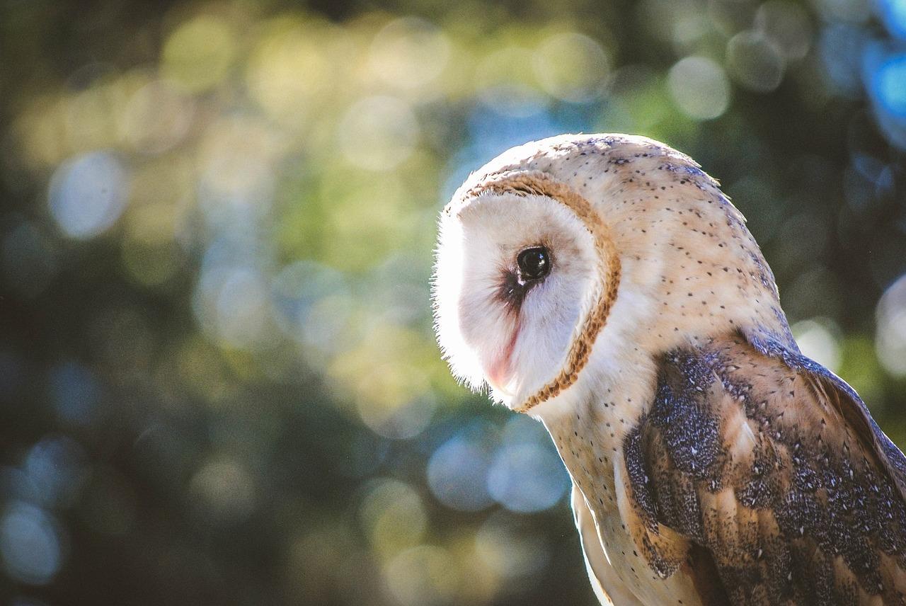 barn-owl-1247122_1280.jpg