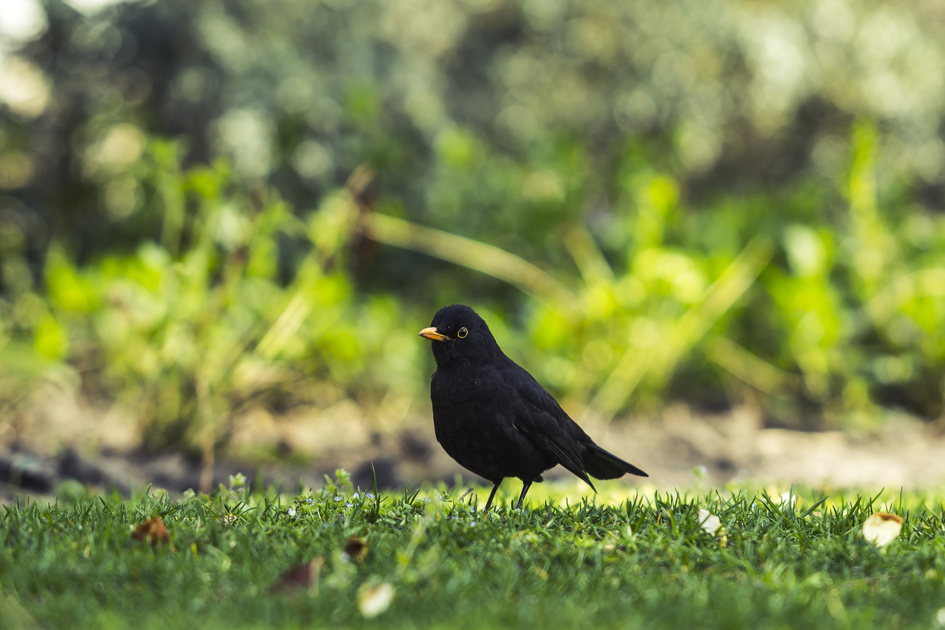 common-blackbird-1287217_1920_1.jpg