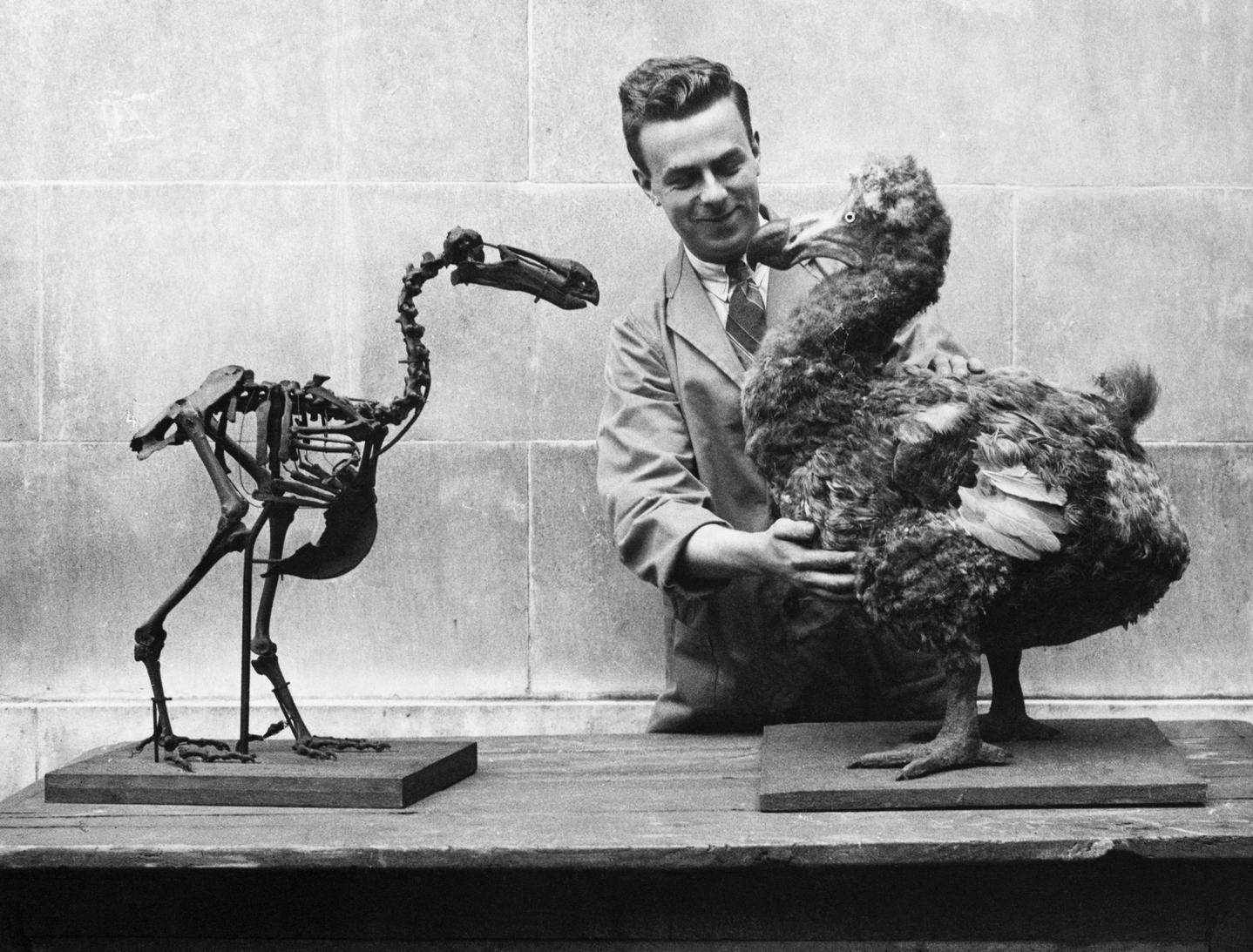 dodo-archiv-madar-bird-wales-museum-muzeum-csontvaz-skeleton-gettyimages1.jpg