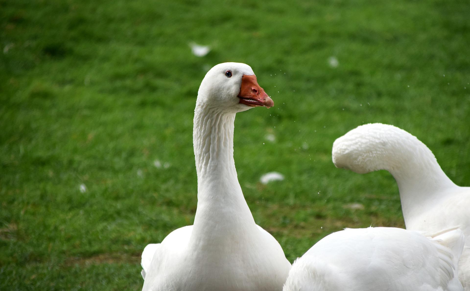 geese-1988325_1920_1.jpg