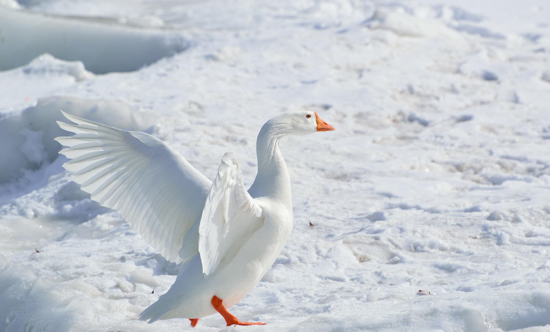 greater-snow-goose-284211_1920.jpg