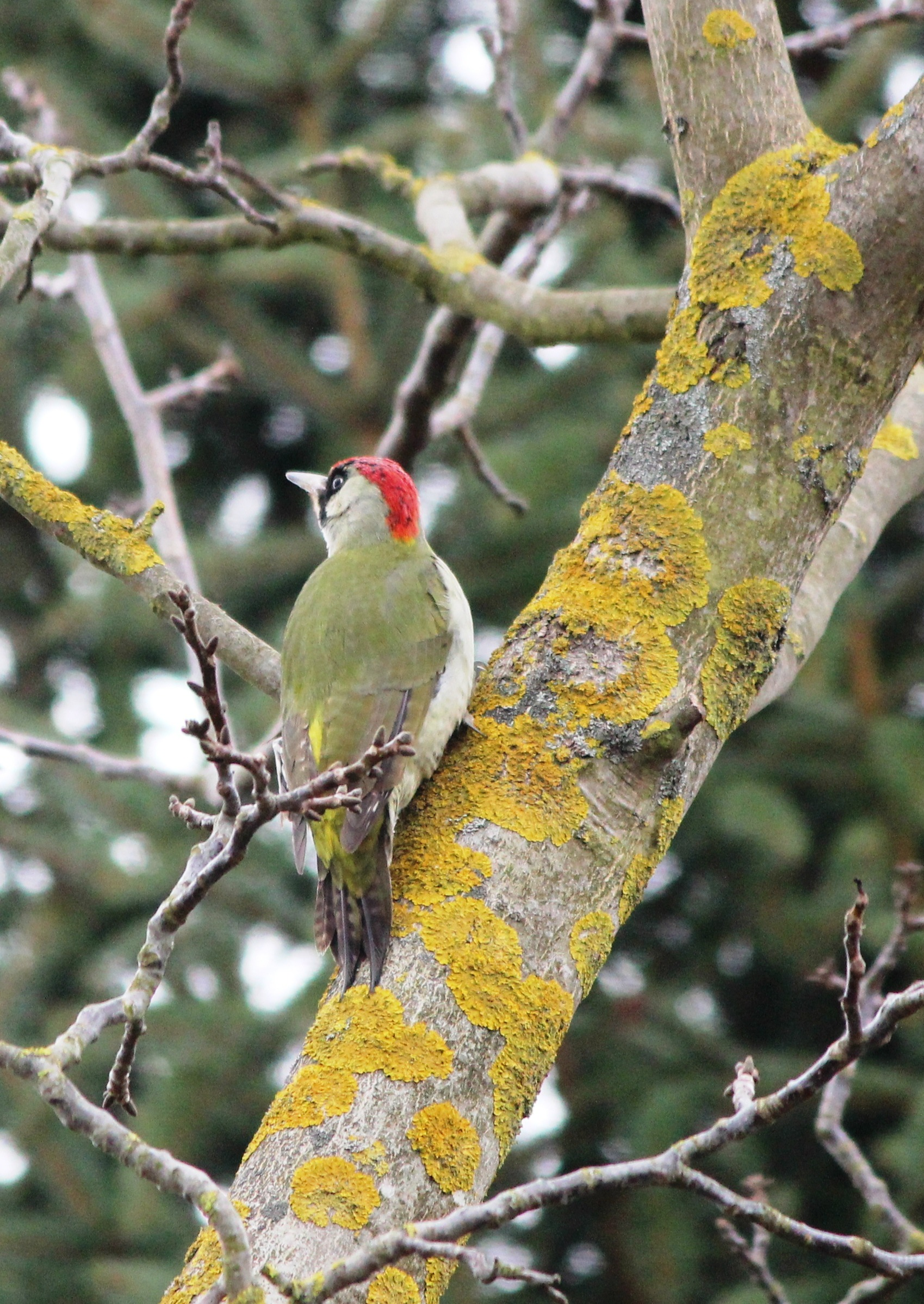 green-woodpecker-92610.jpg