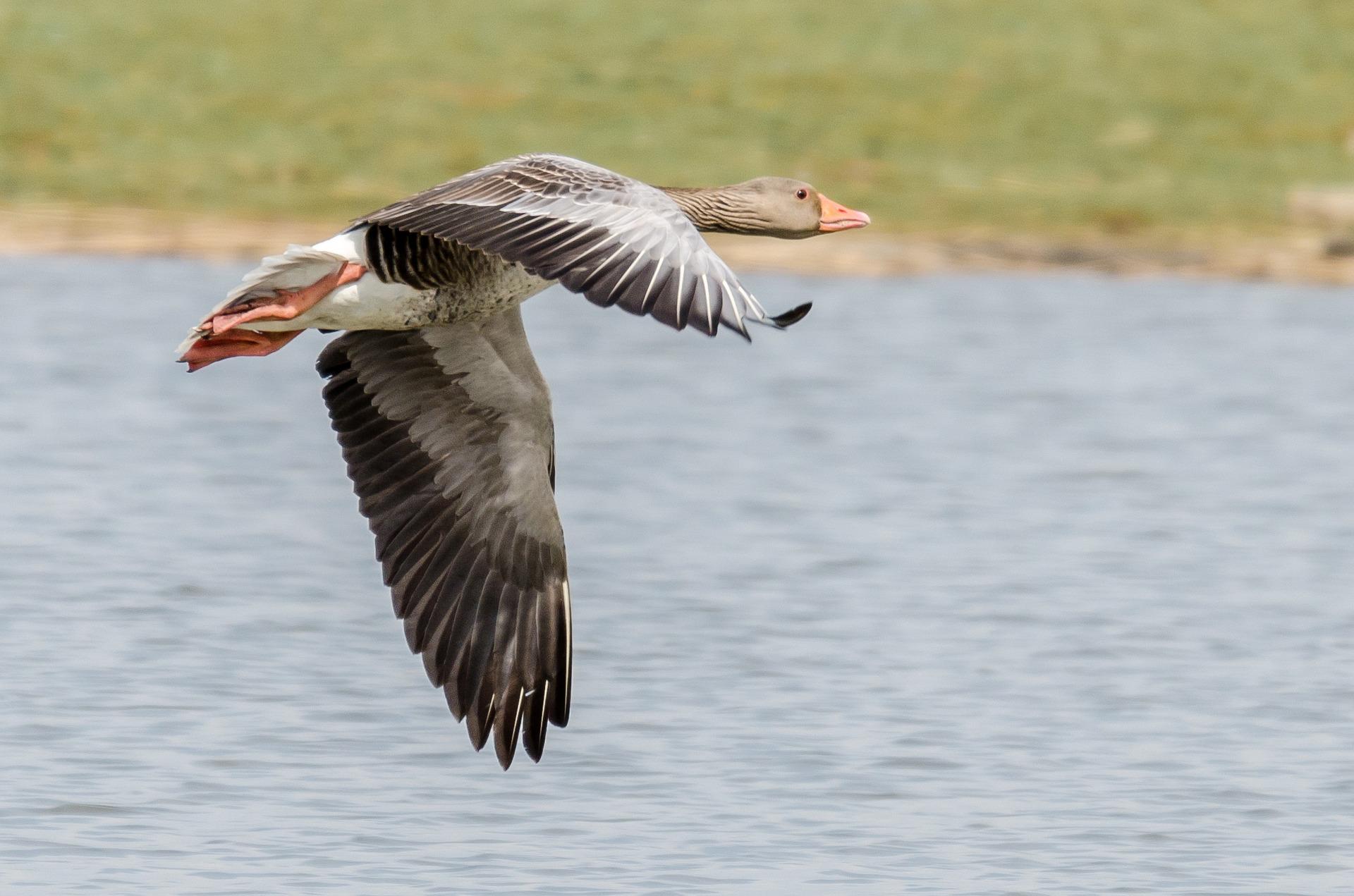 greylag-goose-1580869_1920.jpg