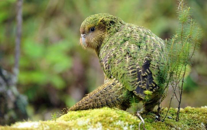 kakapo3.jpg