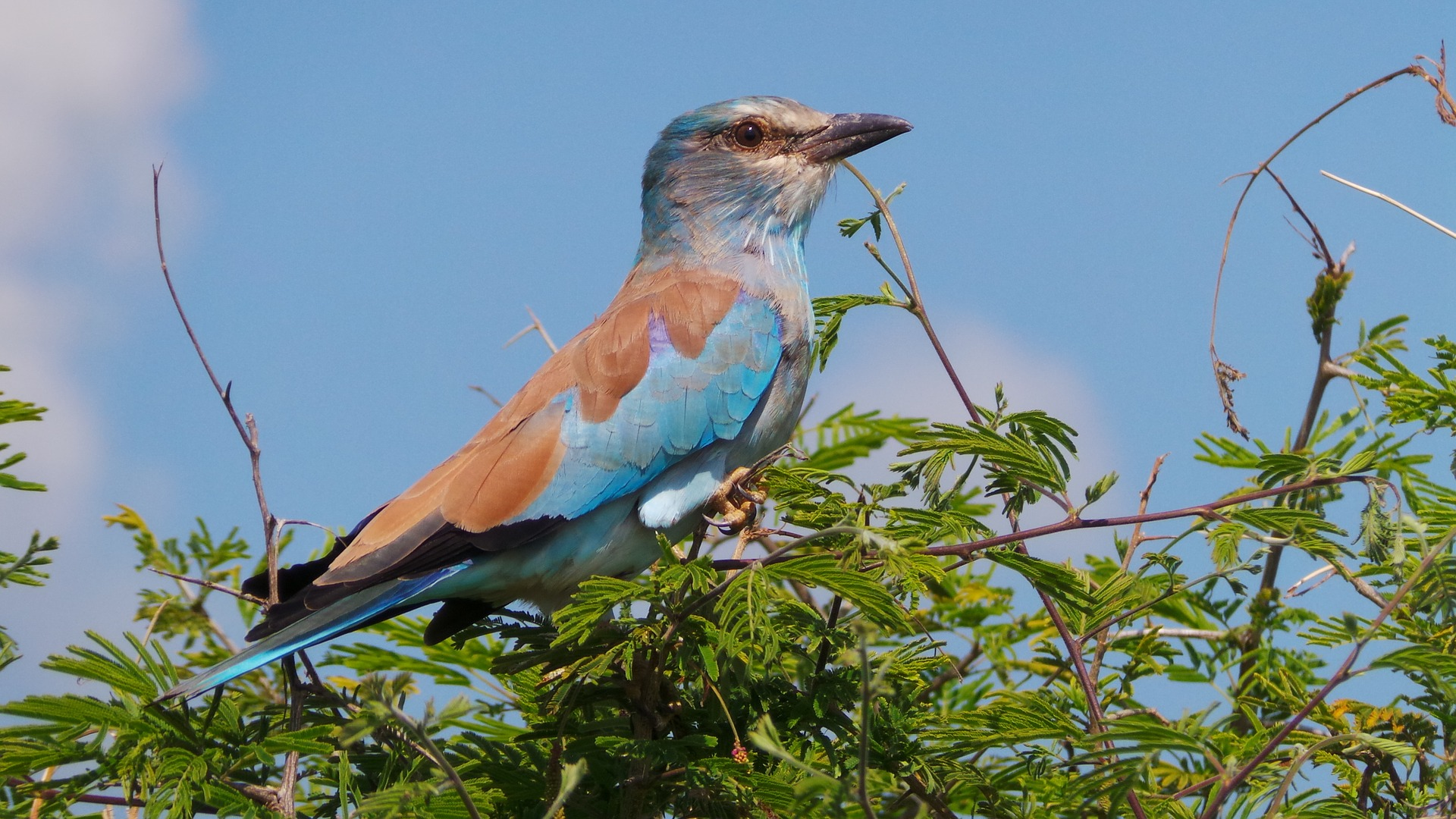 lilac-breasted-roller-1422294_1920.jpg