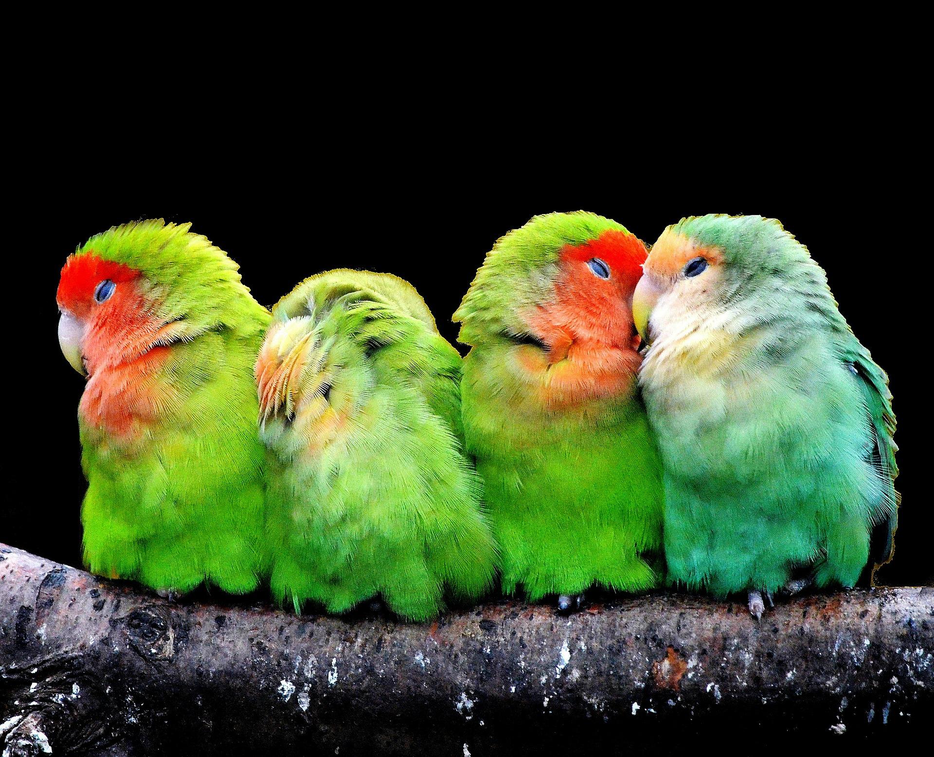 parrots-277093_1920.jpg