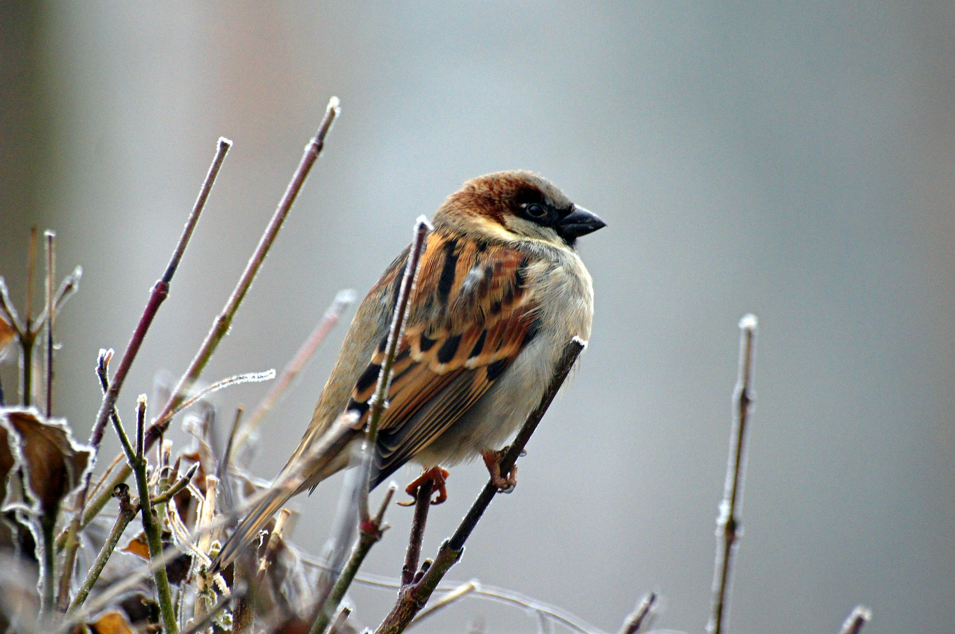 sparrow-50346_1920.jpg