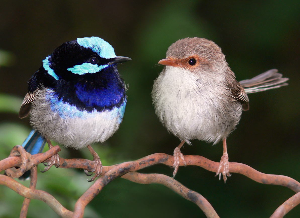 superb_fairy_wrens_mark_2_cropped.jpg