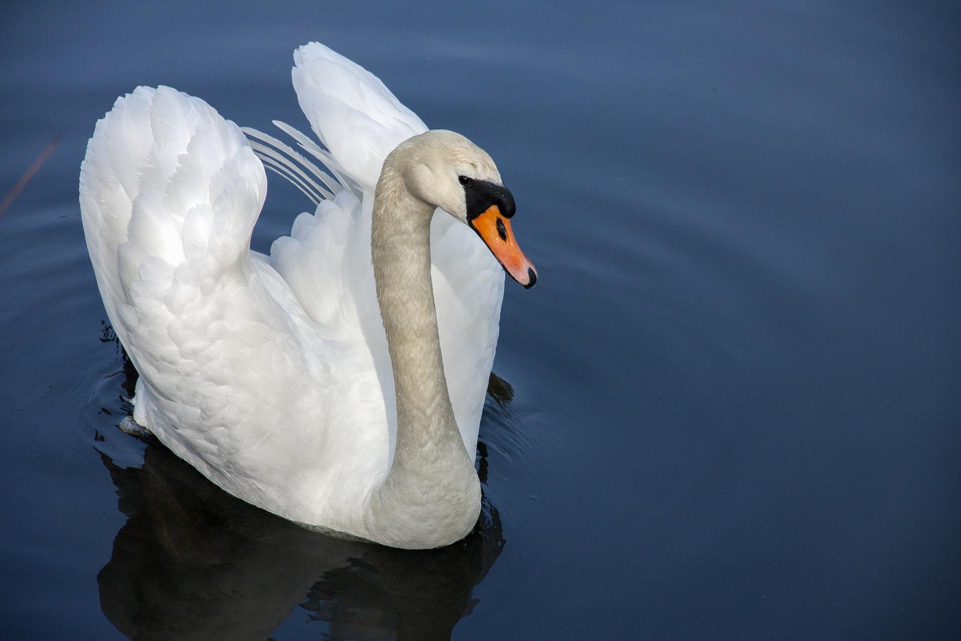 swan-319379_1920.jpg