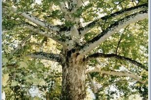 Ismét kivágnák a Nagymező utcai fákat? (FRISSÍTVE!)