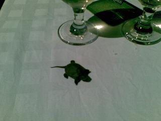 Mocsári teknős. Születési hely, idő: Balatonfenyves, 2008 szeptember