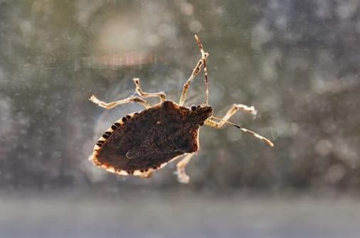 stink_bug.jpg