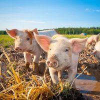 Okosfarm: amikor az állatok etetését is automatizáljuk