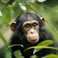 Csimpánzok, a coaching és a kooperáció…