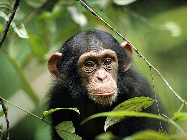 young-chimp.jpg