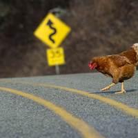 A Csirke Összegyűjtött Művei