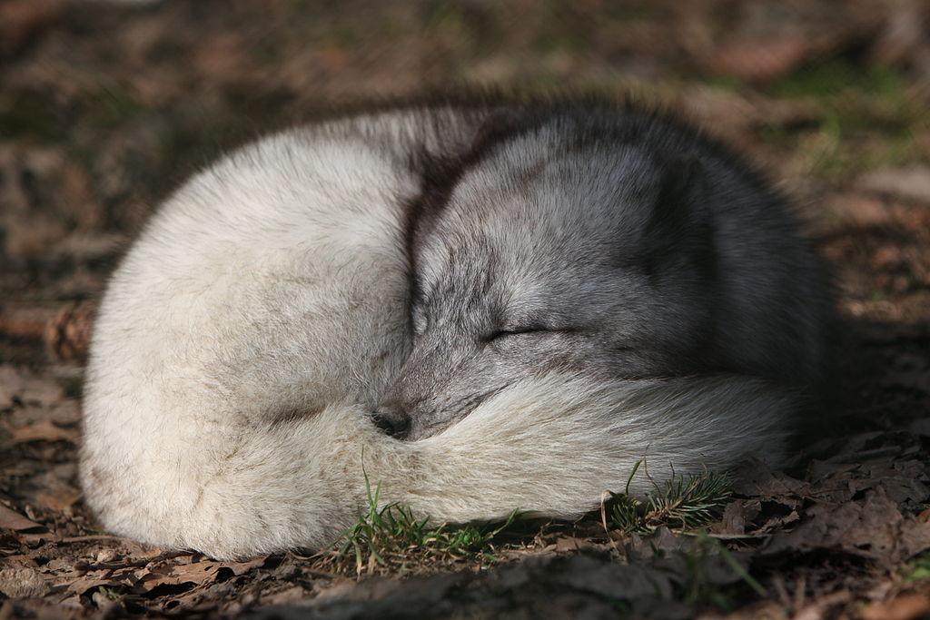 Izland egyetlen őshonos emlős fajának, a sarki rókának egy példánya jól megérdemelt vadászat utáni pihenőjén. (forrás: Wikipedia)