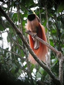 260px-raggiana_bird-of-paradise_wild_5.jpg