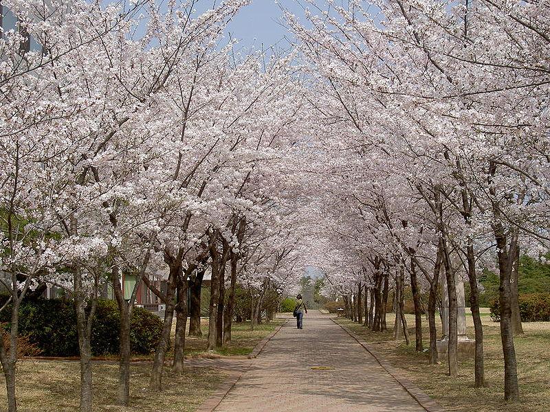 800px-cherry_blossoms_at_postech.jpeg