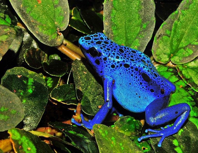 Suriname-i őslakos, egy kék nyílméregbéka. Az országot gazdag flóra és fauna jellemzi. (forrás: Wikipedia)