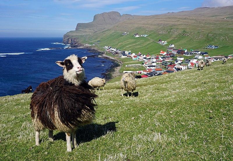 800px-faroese_sheep_sumba_1.jpg