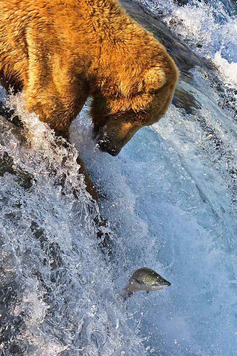 800px-grizzly_bear_fishing_brooks_falls.jpg