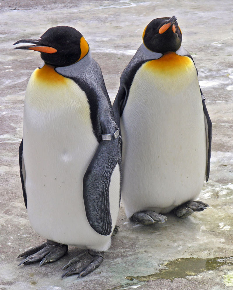 800px-penguins_edinburgh_zoo_2004_smc.jpg